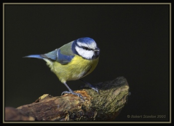 Eurasian Blue Tit (Cyanistes caeruleus) by Robert Scanlon by Robert Scanlon