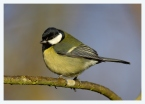Great Tit (Parus major) by Robert Scanlon