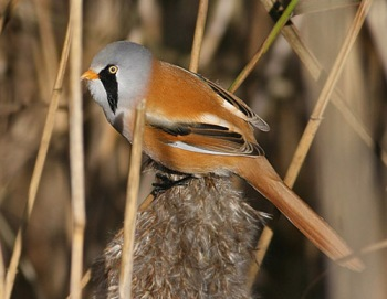 Bearded Reedling (Panurus biarmicus biarmicus) by Peter Ericsson male