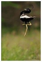 Lesser Florican (Sypheotides indicus) Displaying ©Ramki