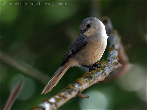 http://leesbirdblog.files.wordpress.com/2009/08/187-american-bushtit-psaltriparus-minimus-by-ian.jpg