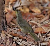 Long-billed Bernieria (Bernieria madagascariensis) WikiC