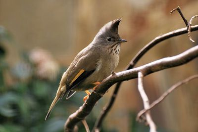 Stripe-throated Yuhina (Yuhina gularis) ©WikiC