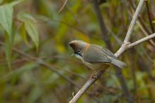 Whiskered Yuhina (Yuhina flavicollis) ©WikiC