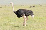 Common Ostrich (Struthio camelus massaicus) by Bob-Nan