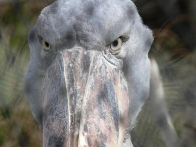 Shoebill by Lee - Closeup