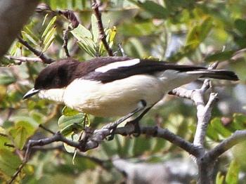 Southern Hyliota (Hyliota australis) © by Dave Appleton