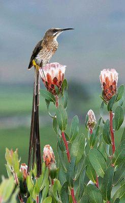 Cape Sugarbird (Promerops cafer) ©WikiC