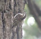 Hodgson's Treecreeper (Certhia hodgsoni) WikiC