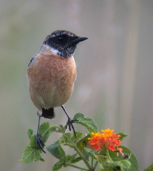 Siberian Stonechat (Saxicola maurus) by Peter Ericsson