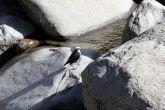 White-capped Dipper (Cinclus leucocephalus) WikiC