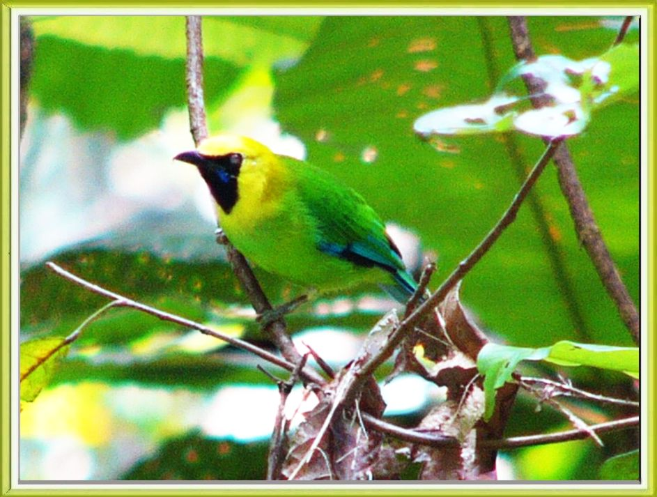 Blue-winged Leafbird (Chloropsis cochinchinensis) by Khong Tuck Khoon