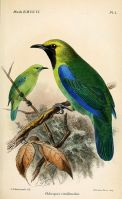Blue-winged Leafbird (Chloropsis cochinchinensis viridinucha) Drawing WikiC