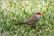 Common Waxbill (Estrilda astrild) by Daves BirdingPix