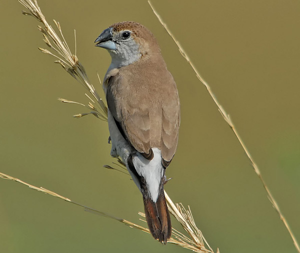 Indian Silverbill (Euodice malabarica) by Nikhil Devasar