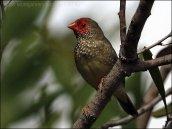 Star Finch (Neochmia ruficauda) by Ian