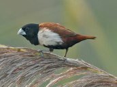 Tricolored Munia (Lonchura malacca) by Nikhil Devasar