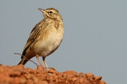 African Pipit (Anthus cinnamomeus) ©WikiC