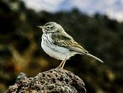 Berthelot's Pipit (Anthus berthelotii) by ©WikiC