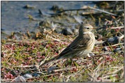 Buff-bellied Pipit (Anthus rubescens) by Daves BirdingPix