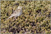 Correndera Pipit (Anthus correndera) by Daves BirdingPix