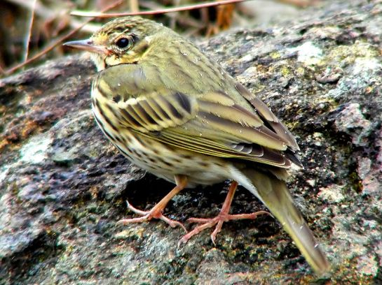 Olive-backed Pipit (Anthus hodgsoni) ©WikiC