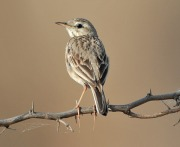 Paddyfield Pipit (Anthus rufulus) by Nikhil