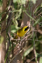 Altamira Yellowthroat (Geothlypis flavovelata) ©WikiC