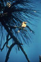 Bachman's Warbler (Vermivora bachmanii) ©WikiC