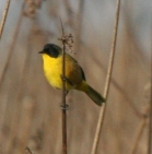 Black-polled Yellowthroat (Geothlypis speciosa) ©WikiC