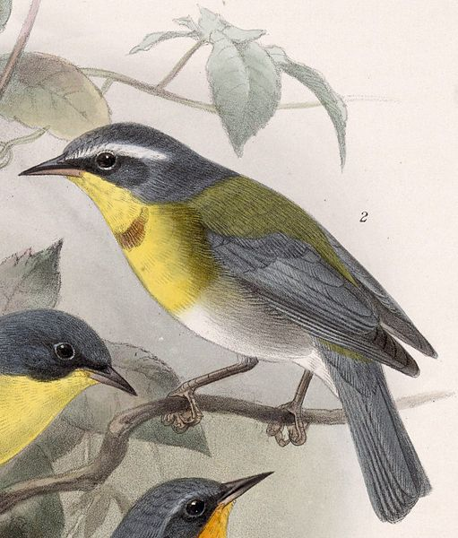 Crescent-chested Warbler (Oreothlypis superciliosa) © Drawing WikiC