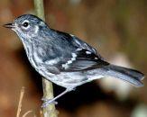 Elfin Woods Warbler (Setophaga angelae) ©WikiC