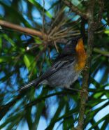 Flame-throated Warbler (Oreothlypis gutturalis) ©WikiC