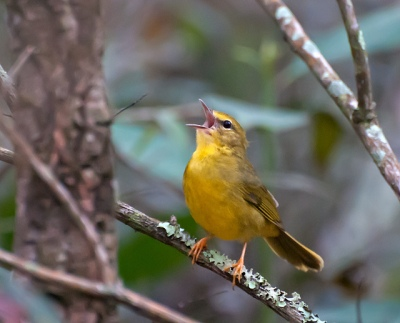 Flavescent Warbler (Myiothlypis flaveolus) by Dario Sanches