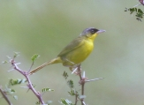 Grey-crowned Yellowthroat (Geothlypis poliocephala) ©WikiC