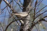 Lucy's Warbler (Leiothlypis luciae) ©WikiC