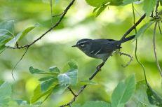 Plumbeous Warbler (Setophaga plumbea) ©WikiC