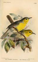 Oriente Warbler (Teretistris fornsi) Drawing WikiC