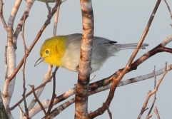 Yellow-headed Warbler (Teretistris fernandinae) WikiC