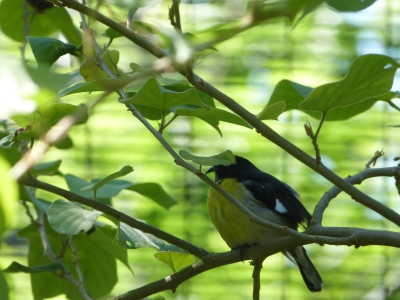 Bananaquit (Coereba flaveola) Cloud Forest by Lee