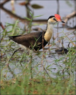 Comb-crested Jacana (Irediparra gallinacea) by Ian's Birdway