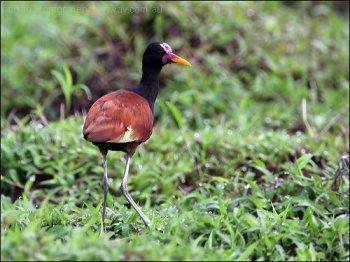 Wattled Jacana (Jacana jacana) by Ian's Birdway