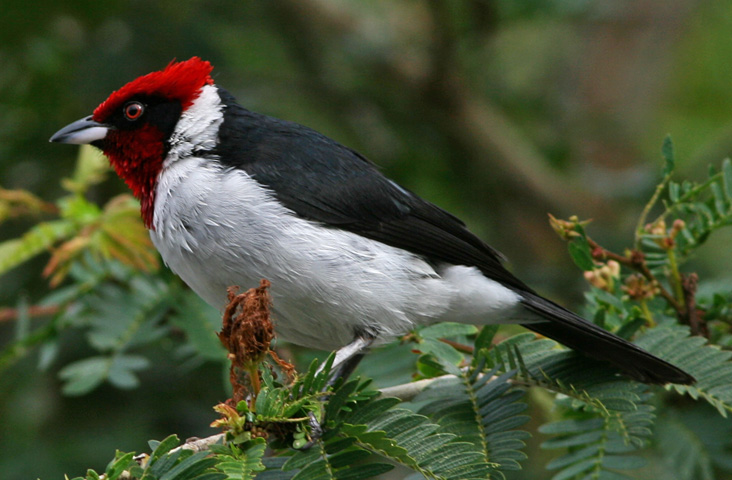 Masked Cardinal (Paroaria nigrogenis) WikiC