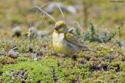 Patagonian Yellow Finch (Sicalis lebruni) ©Arthur Grosset