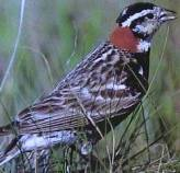 Chestnut-collared Longspur (Calcarius ornatus) WikiC