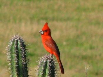 Vermilion Cardinal (Cardinalis phoeniceus) ©WikiC