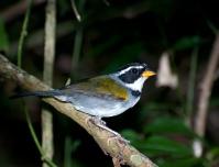 Half-collared Sparrow (Arremon semitorquatus) by Dario Sanches