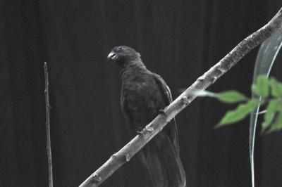 Seychelles Black Parrot is actually Lesser Vasa Parrot (Coracopsis nigra) by Bob-Nan
