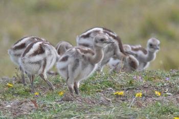 Lesser Rhea (Rhea pennata tarapacensis) (Darwin's) Chicks©Arthur Grosset