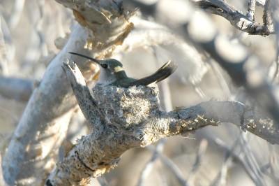 Costa's Hummingbird on Nest (Calypte costae) by Bob-Nan